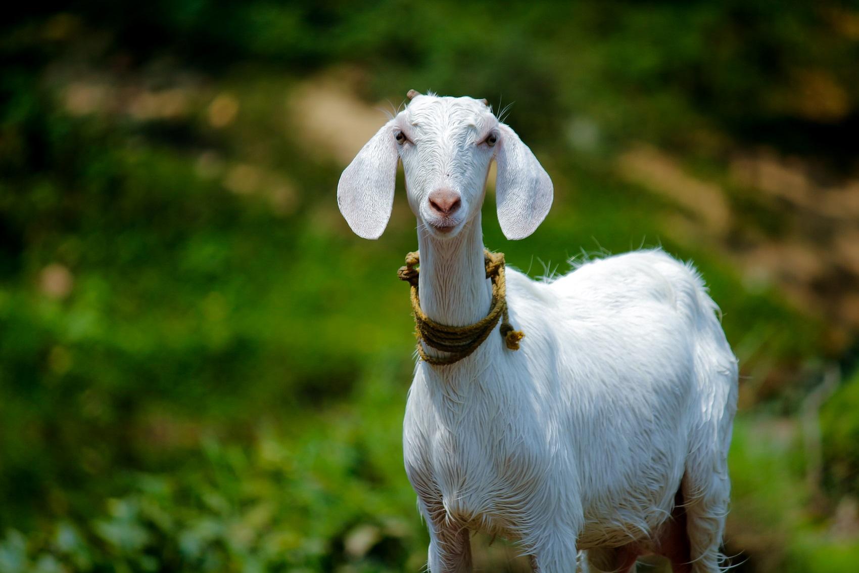 healthy, happy goats