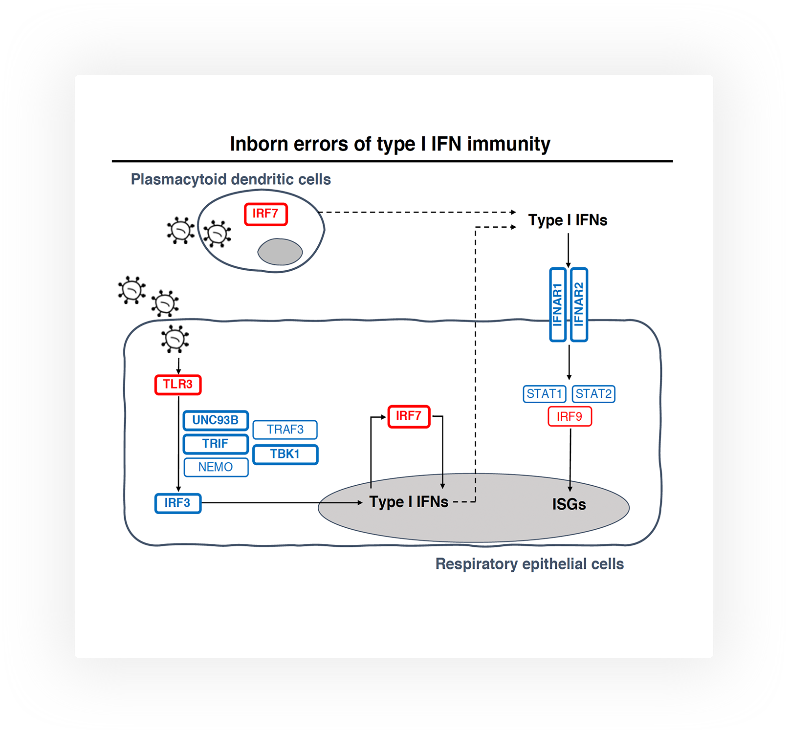 Schematic of IFN signaling in response to viral infection