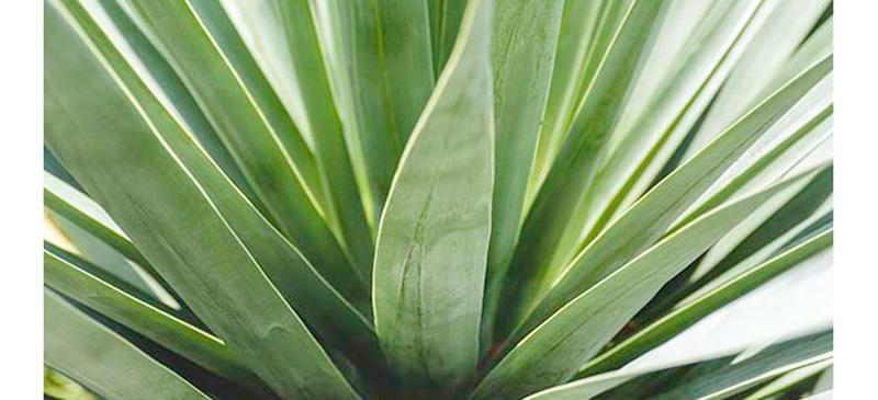Aloe Vera 1