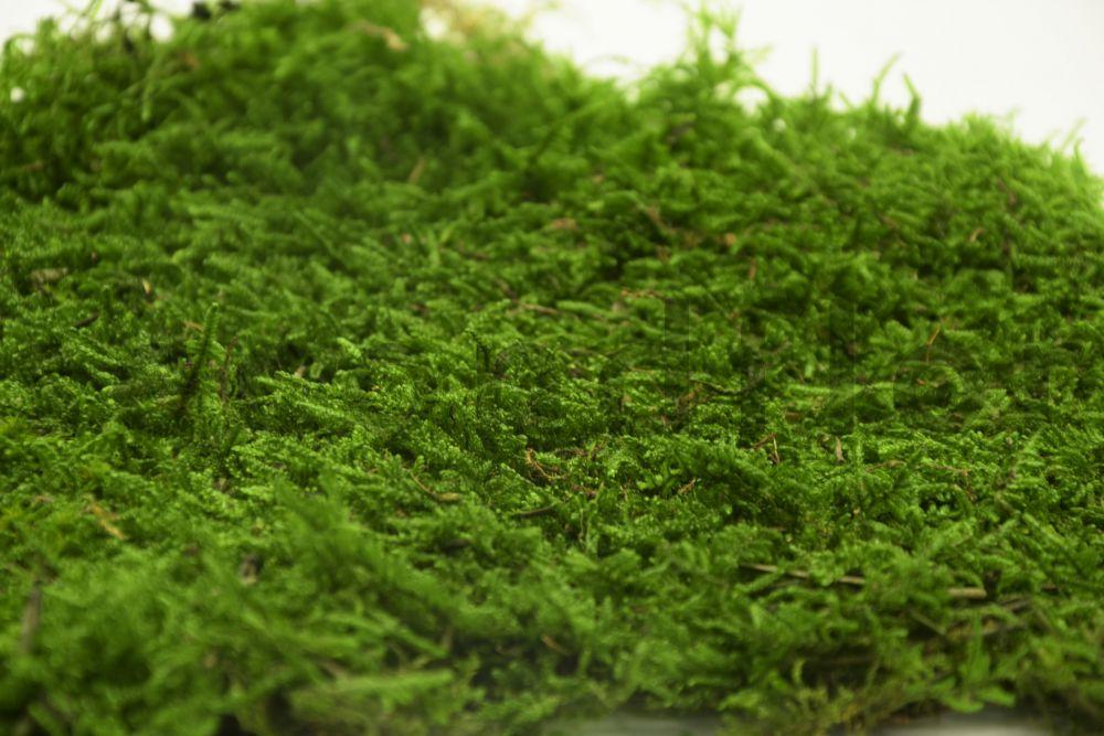 Preserved flat carpet moss